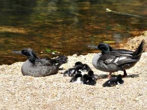 O pato-mergulhão em família (Foto: Divulgação / Adriano Gambarini)