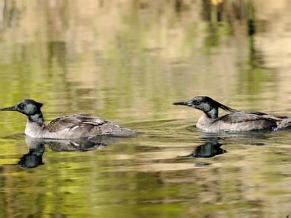 Pato-mergulhão: macho e fêmea tomam conta de seu território juntos   (Foto: Divulgação / Adriano Gambarini)