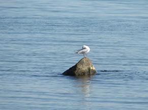 Lagoa dos Patos aves (Foto: divulgação )