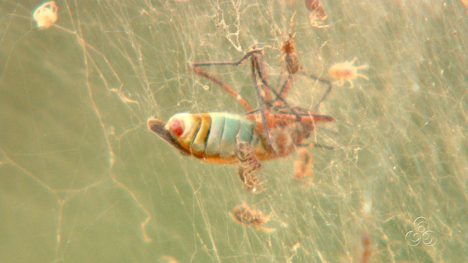 Vários insetos ficam presos na reseistente teia da anelosimus  (Foto: Jornal do Amazonas)