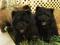Quatro filhotes de chow-chow brincam e fazem sucesso no YouTube (Foto: Reprodução/YouTube)