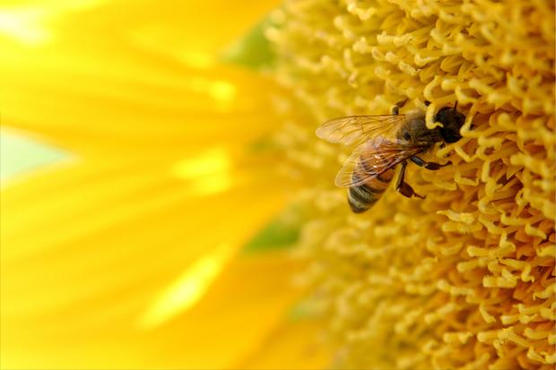 Estudo Indica Que Celulares Podem Estar Matando Abelhas