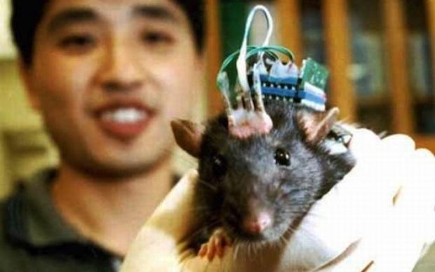 Implante de cérebro testado em ratos (Foto: Reprodução)