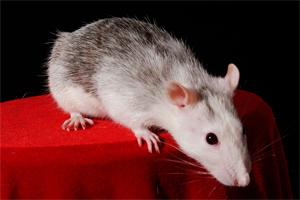 Ratinho (Foto: Stock.xchng)