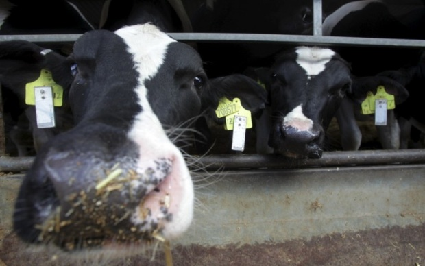 Etiquetas eletrônicas para bovinos mais saudáveis (Foto: Divulgação)