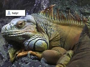 Iguana, uma espécie ameaça. (Foto: Reprodução)