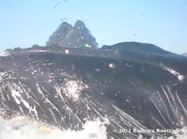 Baleia jubarte (Foto: Reprodução)