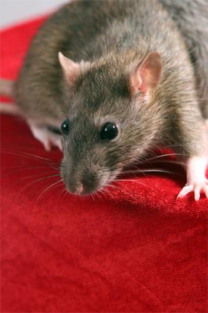 Rato (Foto: Reprodução/Stock.XCHNG)