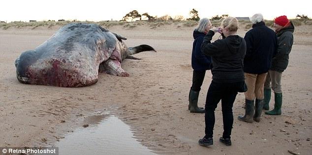 Baleia de espécie rara tem seus dentes roubados por rapaz na Inglaterra (Foto: DailyMail)