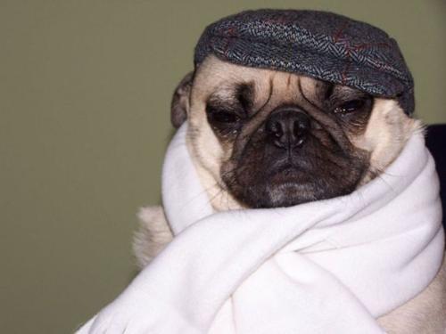 Pug tomando cuidado para evitar um resfriado (Foto: Reprodução)