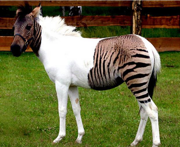Híbrido de cavalo e zebra é resultado do cruzamento entre as duas espécies. (Foto: Spiegel)