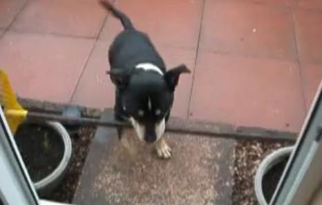 Cão não consegue passar pela porta com o rodo na boca (Foto: Reprodução) (Foto: Cãozinho não consegue passar pela porta pequena (Foto: Reprodução))
