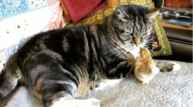 Pintinho e gato se encaram (Foto: Reprodução/YouTube)