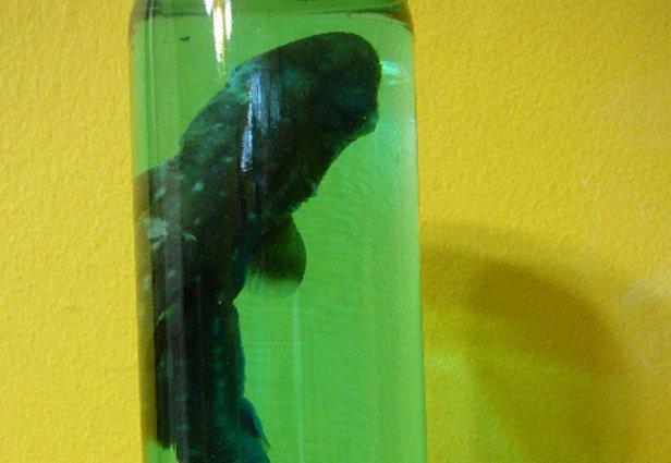 Bebê de tubarão, o enfeite que faltava na sua estante (Foto: Reprodução/eBay)