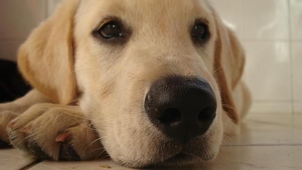 Labrador. Feita com Sony Cyber-shot W110 (Foto: Gabriel Felipe Cândido)