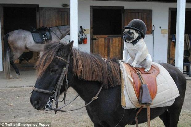 Até cachorro andando de cavalo está no perfil Emergency Puppy (Foto: Reprodução)