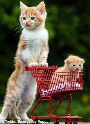 Gatinho leva o filhote para passear num carrinho (Foto: Reprodução)