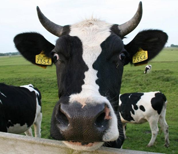 Dois rostos de perfil aparecem nas manchas da vaca (Foto: Reprodução)