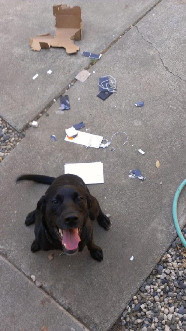 Cachorro não deixou um pedacinho sequer do iPhone 5 (Foto: Reprodução)