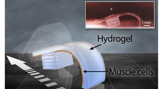 Cientistas criam biorobô com gel e células de coração de rato (Foto: Reprodução)
