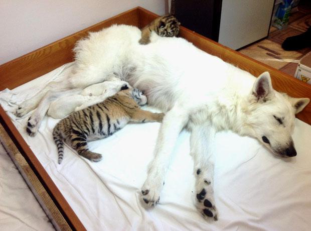 O pastor-branco-suíço alimenta os filhotes de tigre (Foto: Reprodução)