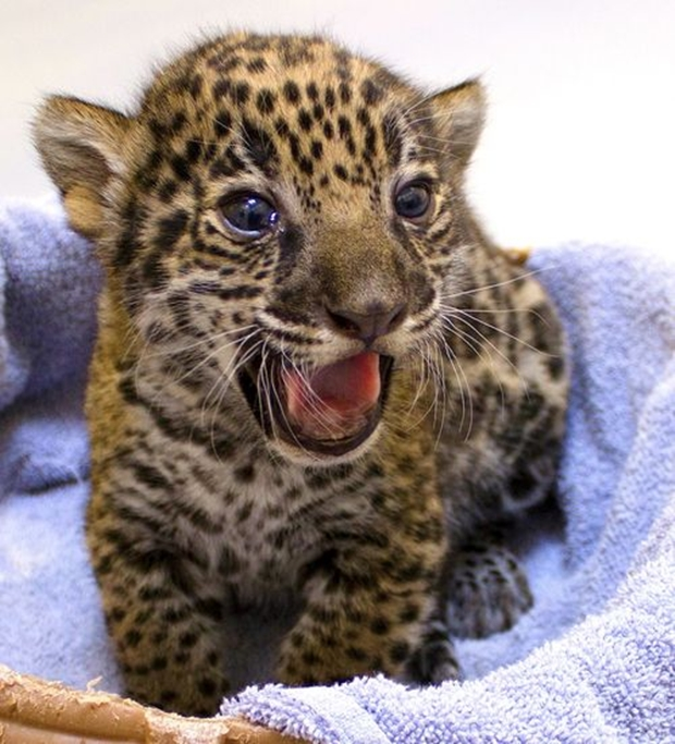 "Jaguar nascido no ""Milwaukee County Zoo"" (Foto: Amanda Ista/ Milwaukee County Zoo)"