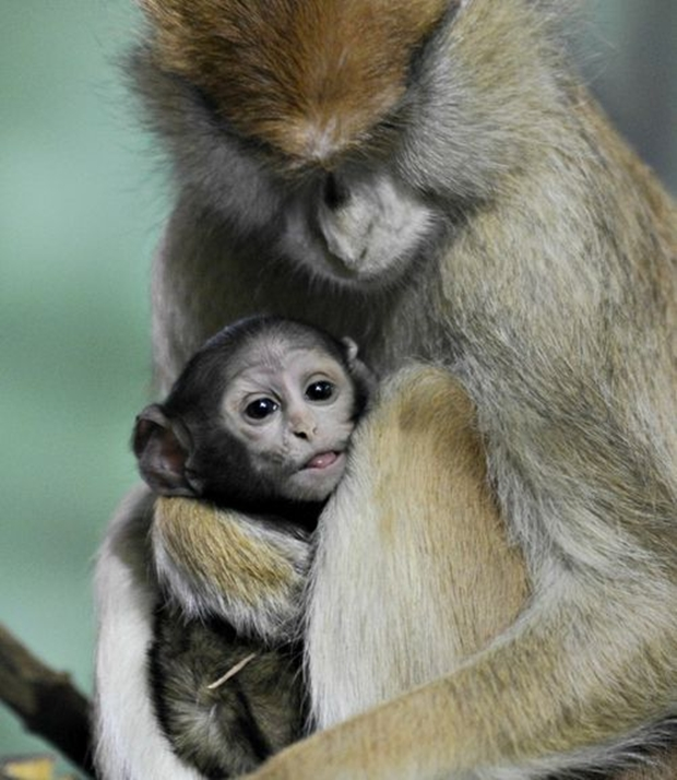 Bebê e mamãe macacos do Rosamond Gifford Zoo, de Nova Iorque (Foto: Terri Redhead)