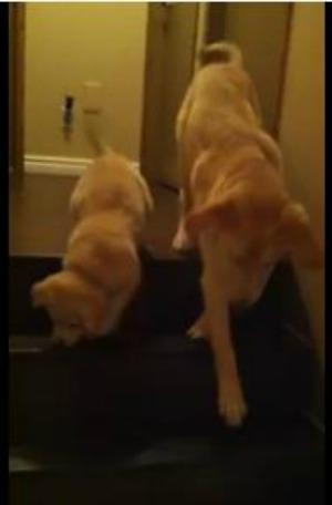 Cão ajuda filhote a descer escada e bomba no YouTube (Reprodução/YouTube)