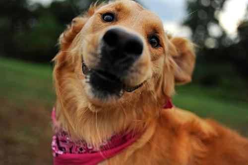 Patrick Smith tira fotos divertidas de sua cadela, Pickles, uma golden retriever (Foto: Patrick Smith)