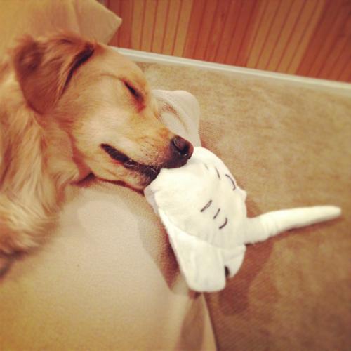 Pickles caiu no sono com o brinquedo na boca (Foto: Patrick Smith)