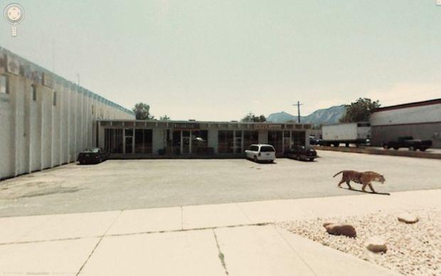 Um tigre registrado no Street View (Reprodução|BuzzFeed)