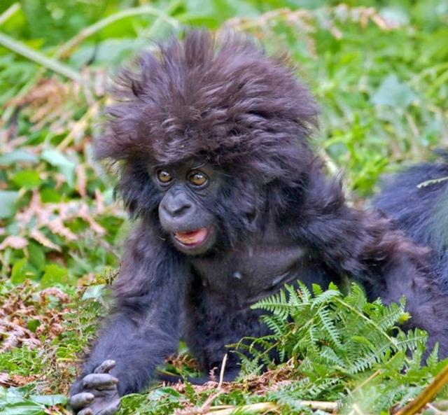 Filhote de chimpanzé com cara de louco (Foto: Reprodução/The Savoia)