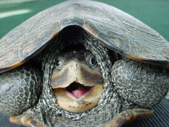 Tartaruga se escondeu dentro do casco (Foto: Reprodução/The Savoia)