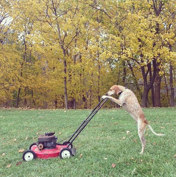 Cadela cortando grama