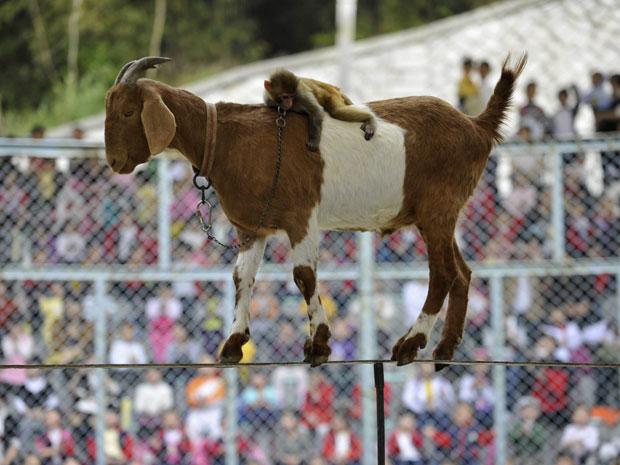 Cabra e macaco são atração em zoológico na China