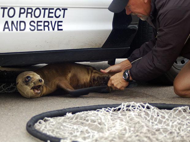 Leão marinho é convencido a se entregar depois de quatro horas de perseguição
