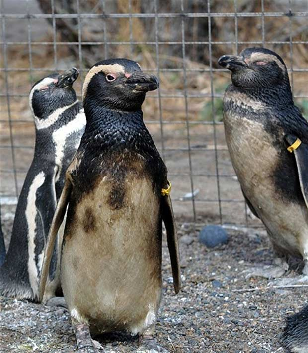 Alguns dos 141 pinguins contaminados com óleo na reserva de Rawson, em Chubut, na Argentina