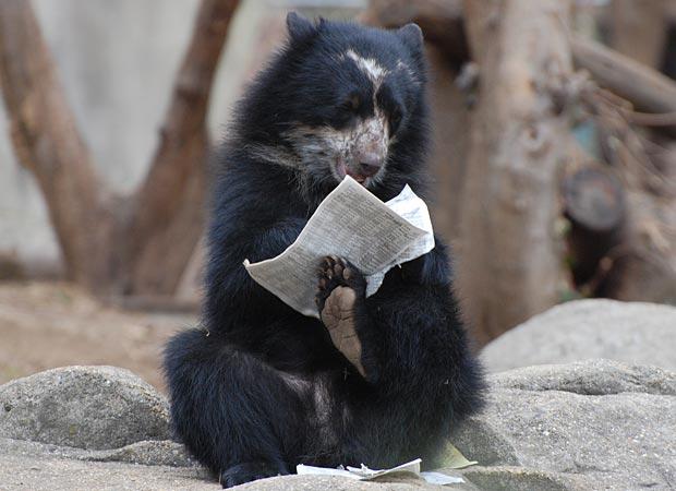 Chaska, um urso-de-óculos de apenas um ano de idade, é flagrado brincando com jornal no zoológico do instituto Smithsonian, em Washington, capital dos Estados Unidos. Segundo os treinadores, o animal gosta de brincar com o jornal, que acaba sempre devorad (Foto: Jennifer Lockridge / Barcroft Media / Getty Images)