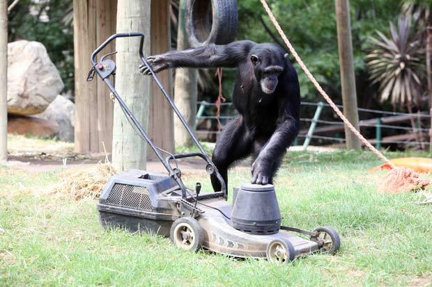 Chimpanzé 'Ruby' virou atração na Cidade do Cabo por cortar grama. (Foto: Matthew Tabaccos/Barcroft Medi/Getty Images)