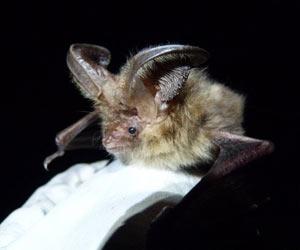 Morcegos da espécia tinham sido vistos pela última vez nas ilhas Scilly na década de 60 (Foto: Fiona Mathews / Universidade de Exeter)