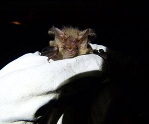 O exemplar do morcego-pipistrela, uma fêmea grávida (Foto: Fiona Mathews / Universidade de Exeter )