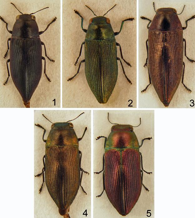 A imagem número 1 mostra um exemplar do gênero Philanthaxia. As outras fotos são as novas espécies de besouro-jóia encontradas no sudeste asiático (Foto: Reprodução/Revista ZooKeys)