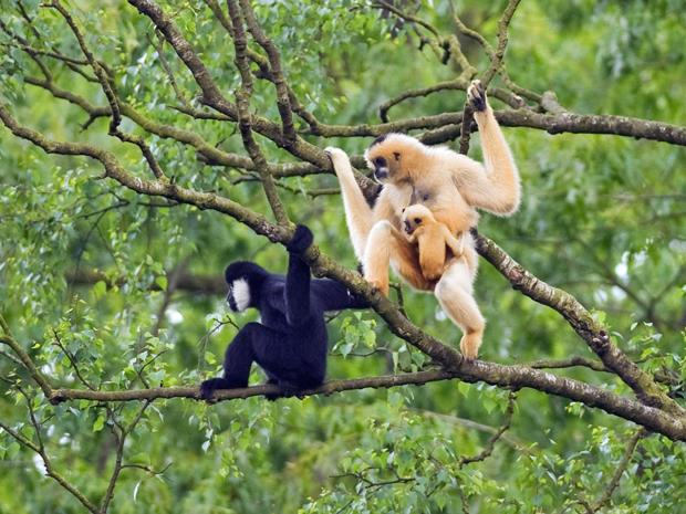Segundo a CI, essa é a maior população desta espécie de primata encontrada no mundo. (Foto: Divulgação/Terry Whittaker/Conservation International)