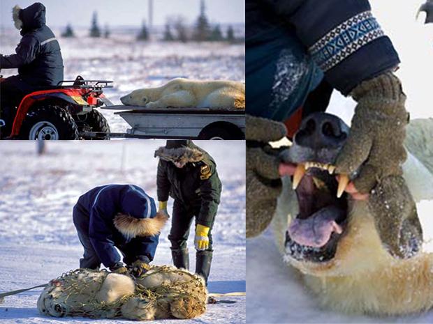 """Os ursos polares são comuns na região de Manitoba, mas esta família entrou em uma região considerada proibida por ser muito próxima dos humanos. A cidade de 900 habitantes ganhou recentemente o apelido de """"capital mundial dos ursos polares"""" por causa da grande quantidade de animais que chegam buscando comida (Foto: Caters/BBC)"""