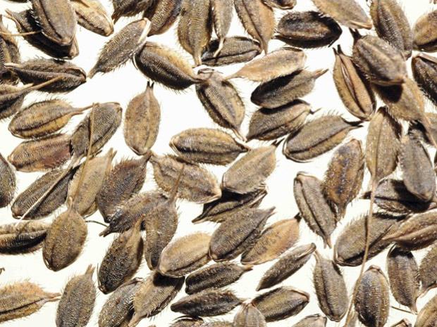 Espécie de arroz selvagem conhecida como 'Oryza officinalis' na literatura científica. (Foto: PLoS Biology)