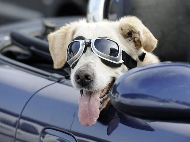 O cão Mo é visto de óculos de piloto em estacionamento de supermercado na  cidade alema 97b990528c