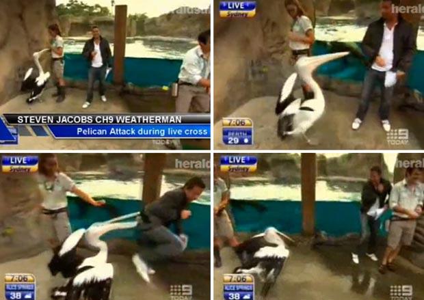 Em 2010, um apresentador de TV foi atacado por um pelicano enquanto comentava a previsão do tempo, ao vivo, no zoológico de Taronga, em Sydney (Austrália). Steve Jacobs apresentava o boletim da manhã para o canal Nine quando foi atacado pela ave. (Foto: Reprodução)