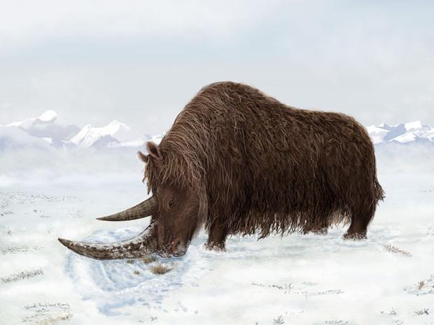 Ancestral de rinoceronte usava chifre para revirar a neve e encontrar comida. (Foto: Julie Naylor / Science / Divulgação)