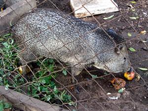 porco-do-mato (Foto: Pollyana Araújo/G1)
