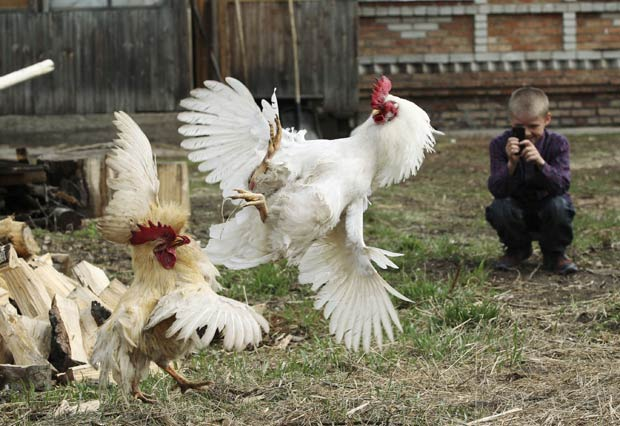 sonhar com galinha brigando